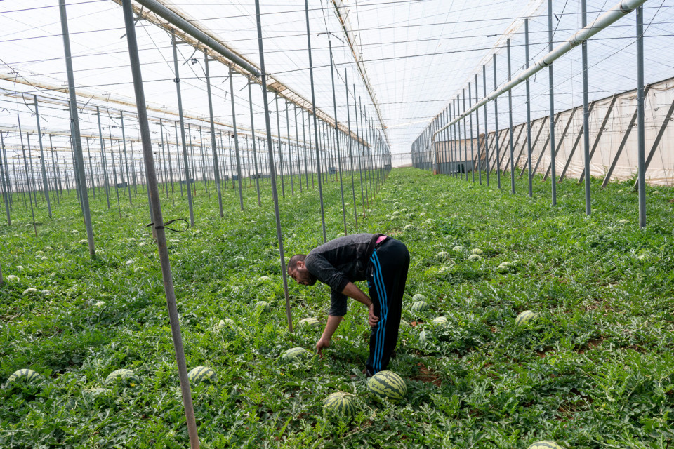 Yassine A., a Moroccan migrant labor, harvesting watermelons in a greenhouse, Spain.